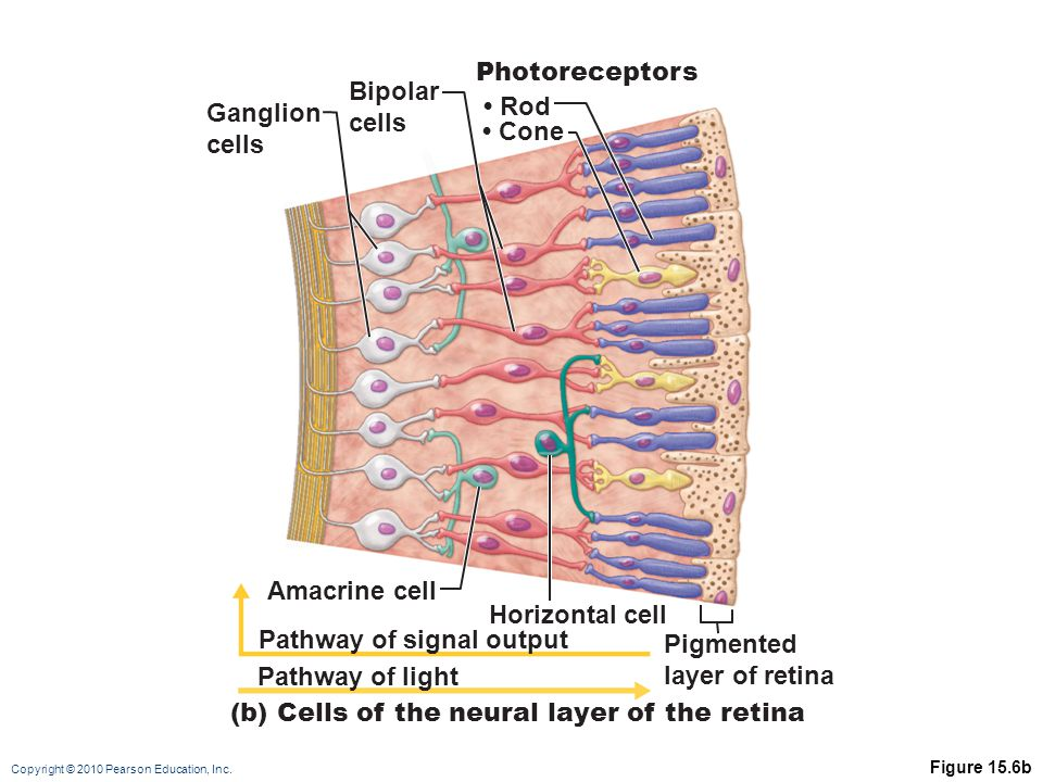 Pathway of signal output Pigmented layer of retina Pathway of light