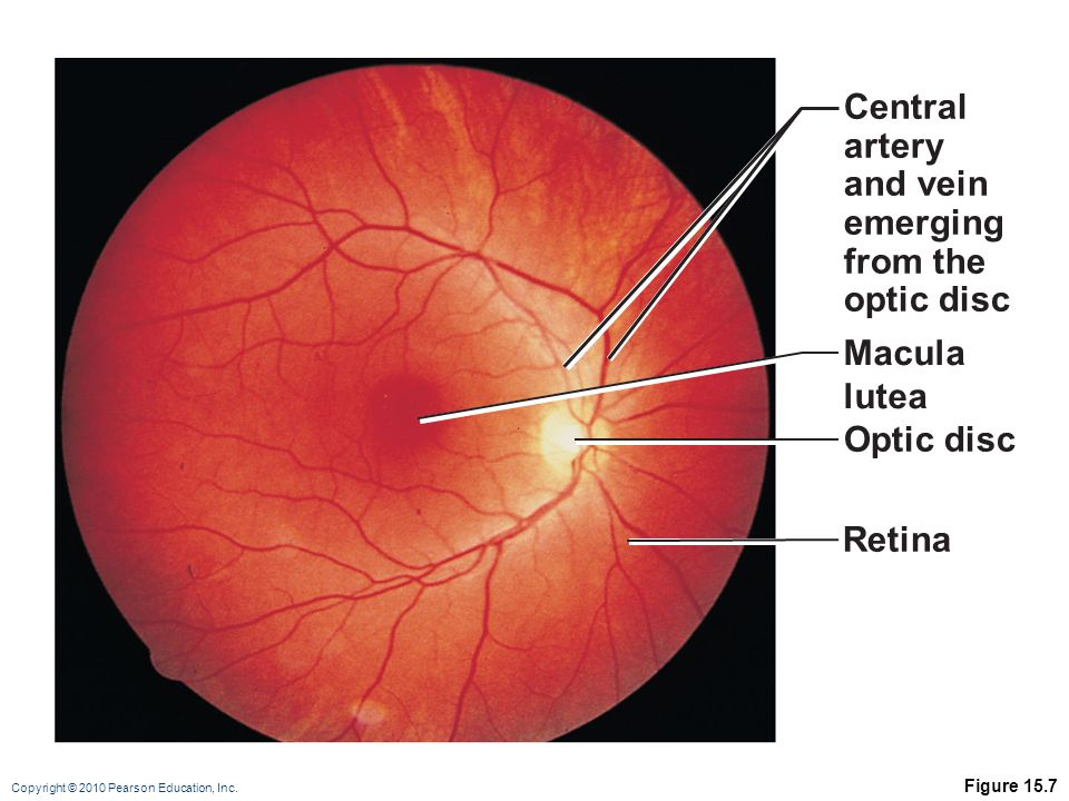 Central artery and vein emerging from the optic disc Macula lutea