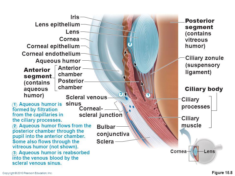 Iris Posterior Lens epithelium segment (contains Lens vitreous humor)