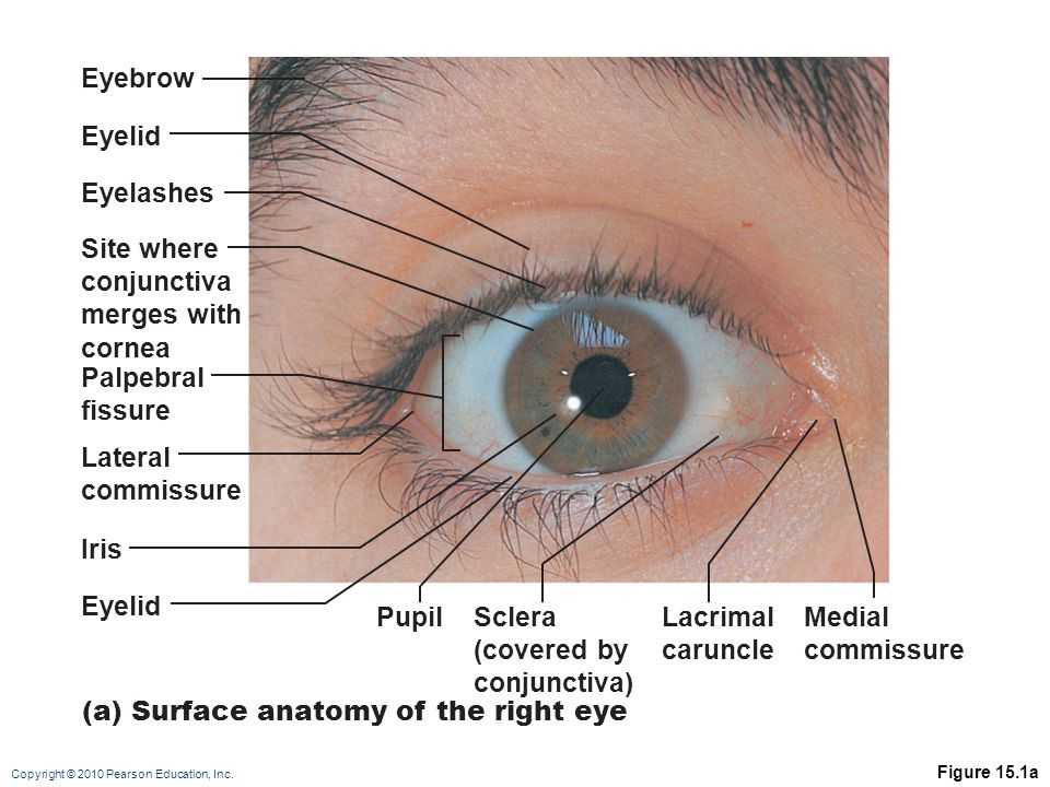 (a) Surface anatomy of the right eye