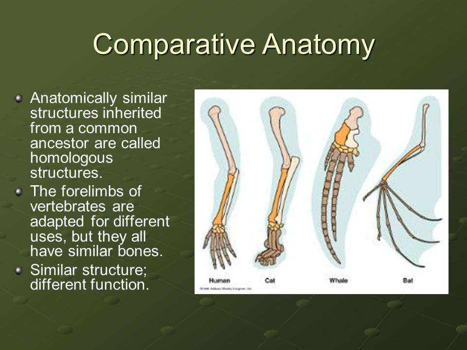 Comparative Anatomy Anatomically similar structures inherited from a common ancestor are called homologous structures.