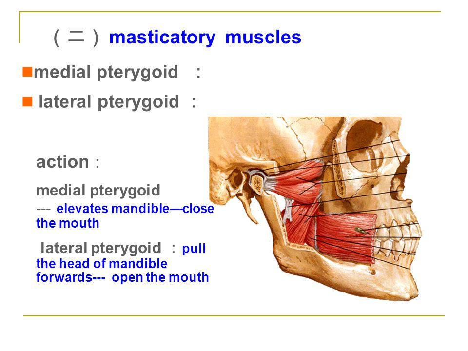 (二) masticatory muscles