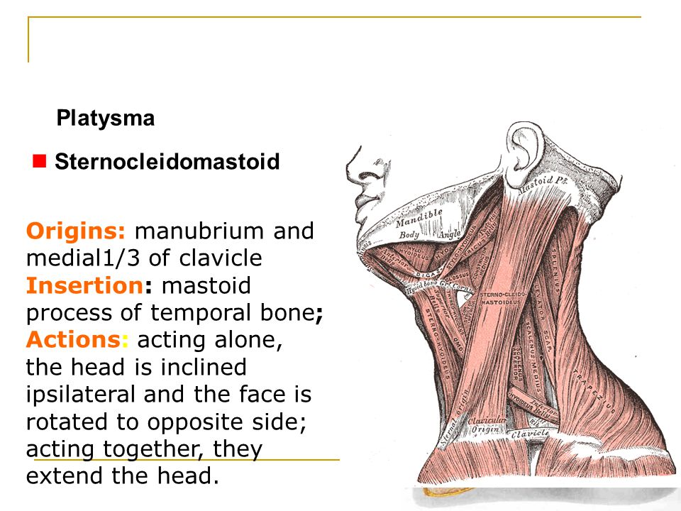 Platysma Sternocleidomastoid. Origins: manubrium and medial1/3 of clavicle. Insertion: mastoid process of temporal bone;