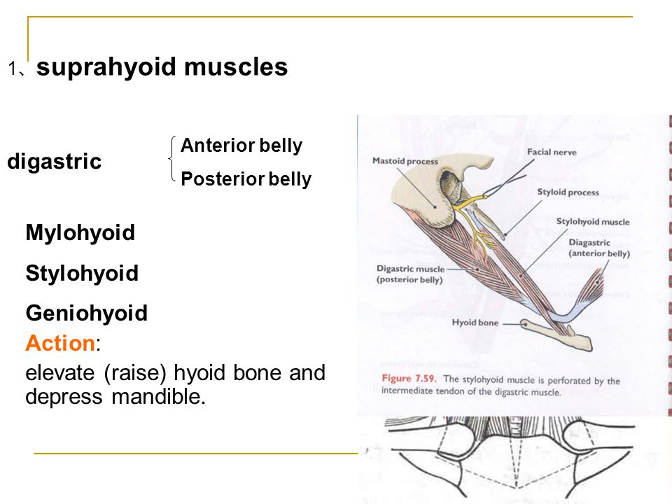 elevate (raise) hyoid bone and depress mandible.