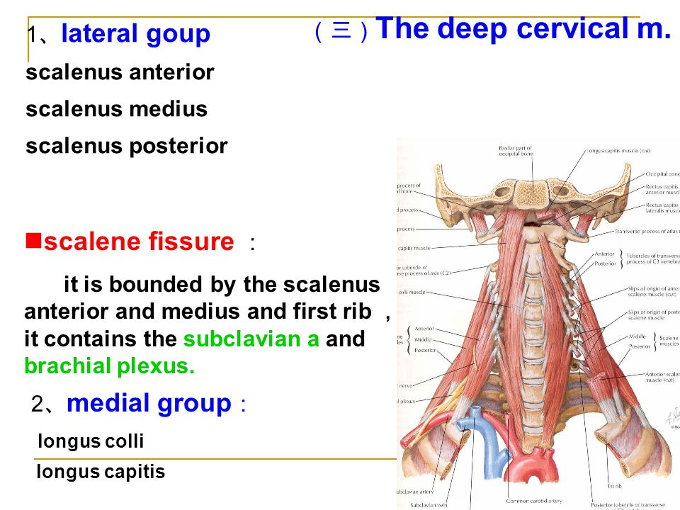 scalene fissure : (三)The deep cervical m. 1、lateral goup