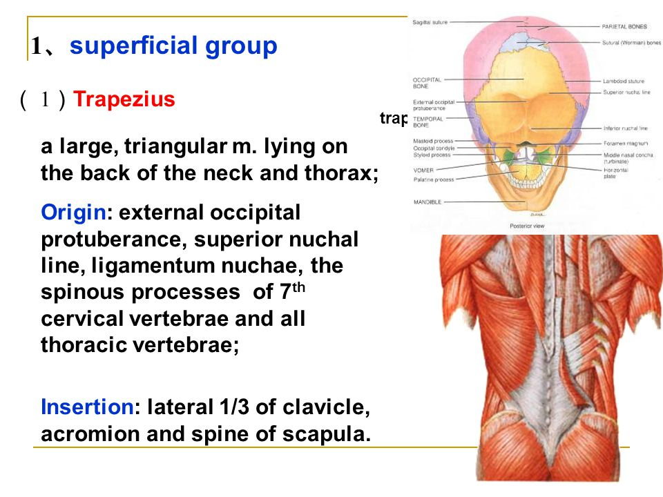 1、superficial group ( 1)Trapezius