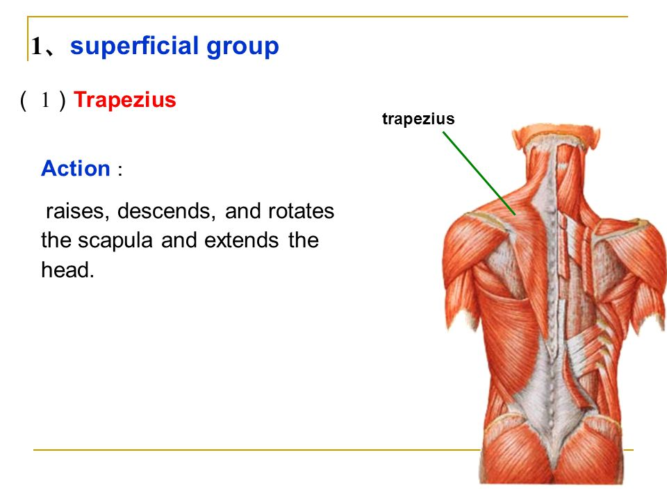 1、superficial group ( 1)Trapezius Action: