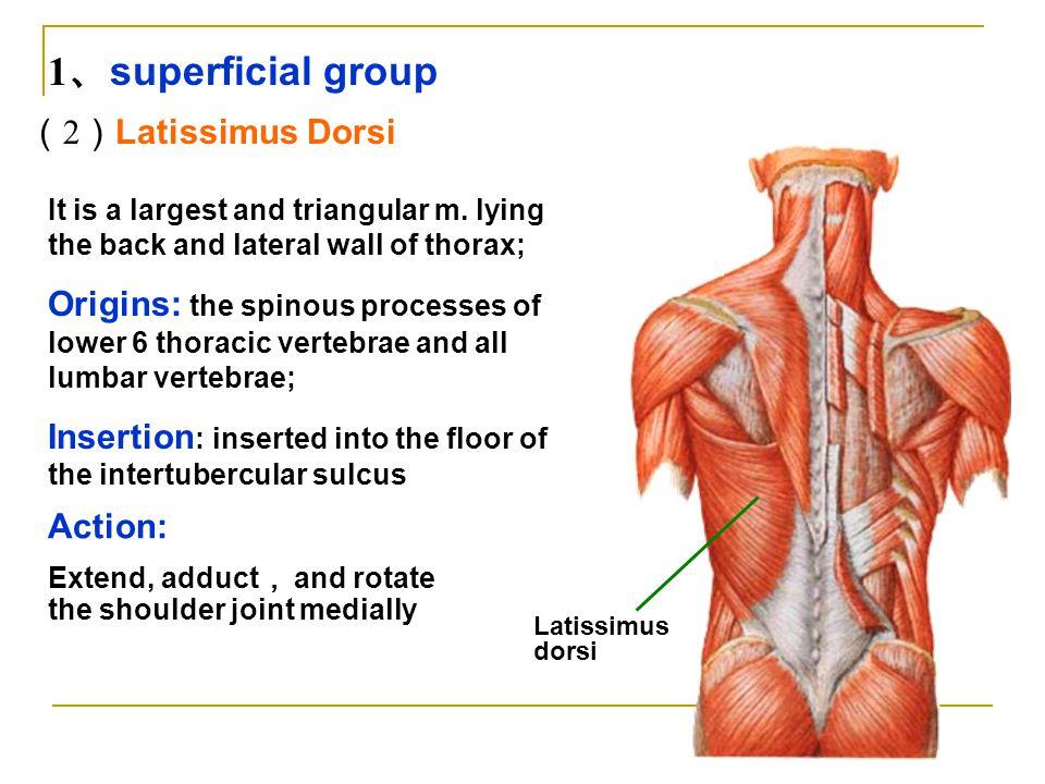 1、superficial group (2)Latissimus Dorsi