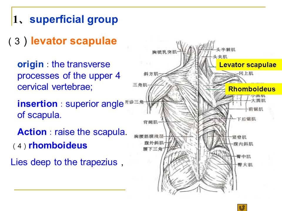 1、superficial group (3)levator scapulae