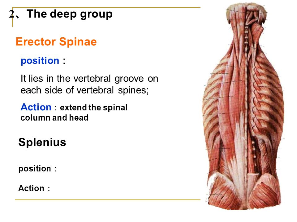 2、The deep group Erector Spinae Splenius position: