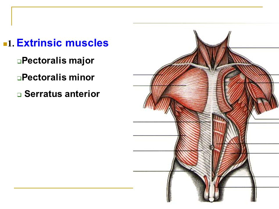 1. Extrinsic muscles Pectoralis major Pectoralis minor Serratus anterior