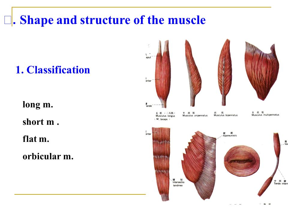 Ⅰ. Shape and structure of the muscle