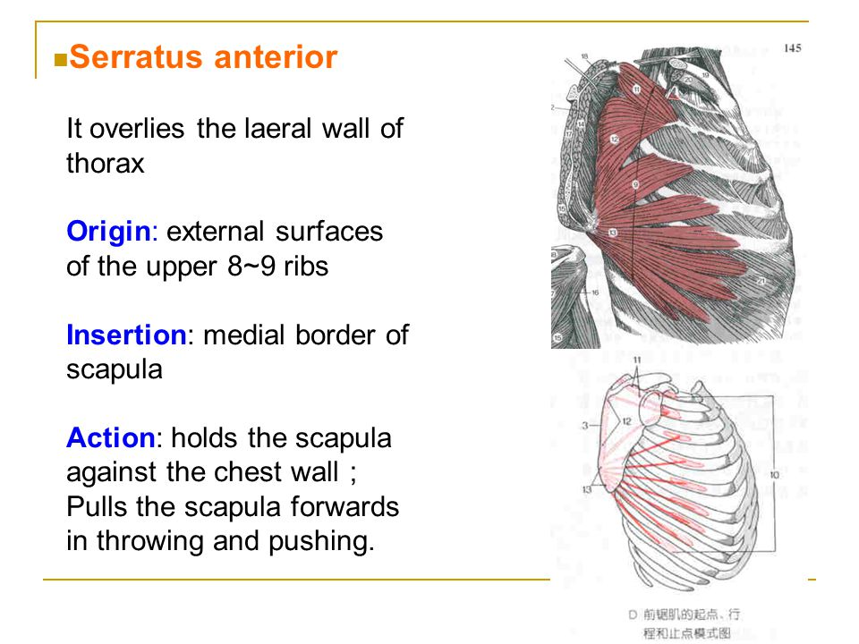 Serratus anterior It overlies the laeral wall of thorax