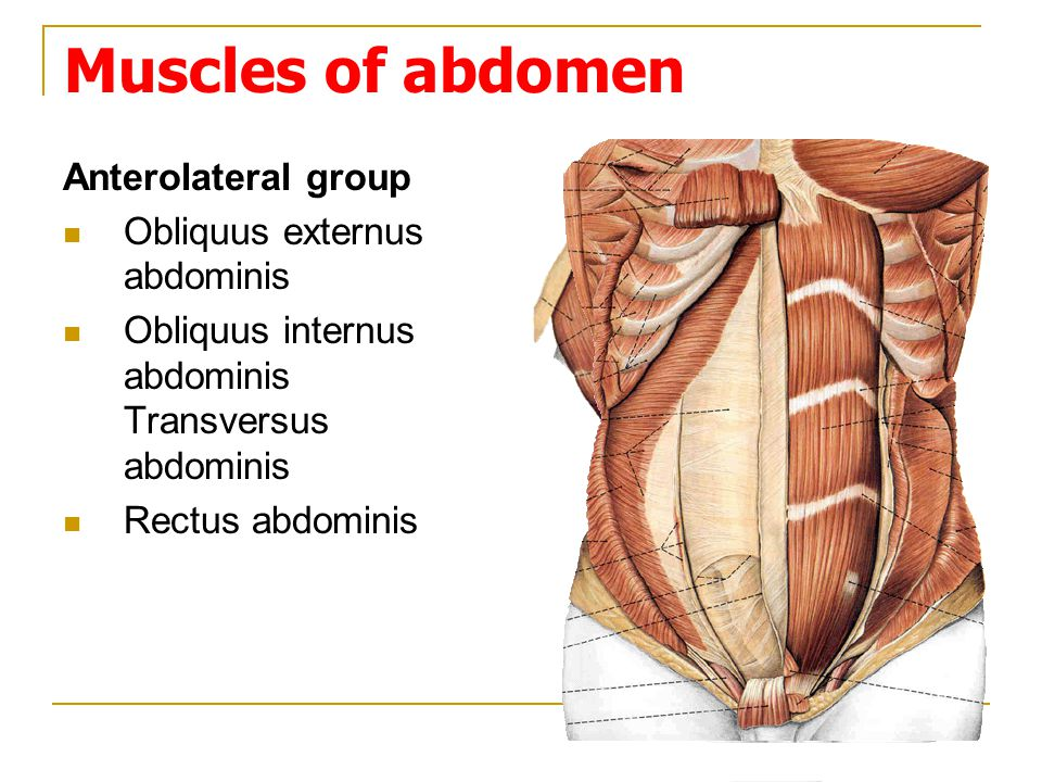 Muscles of abdomen Anterolateral group Obliquus externus abdominis