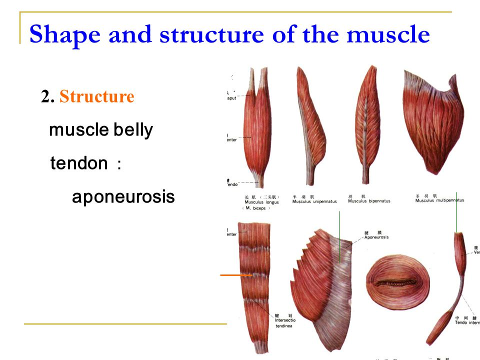 Shape and structure of the muscle