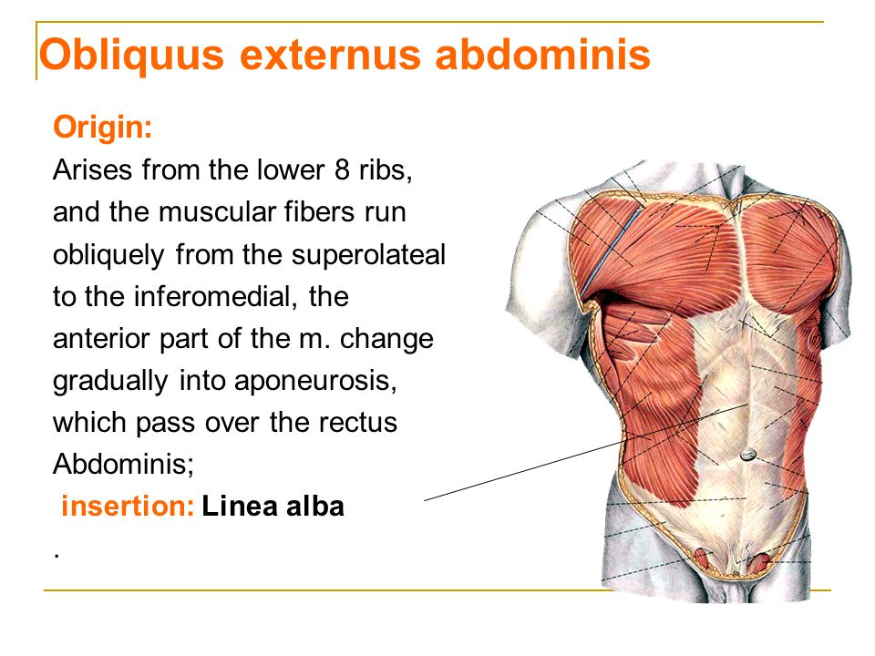 Obliquus externus abdominis