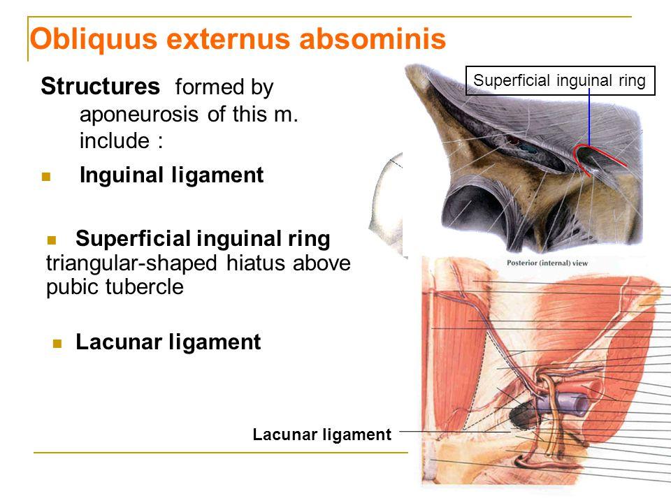 Obliquus externus absominis