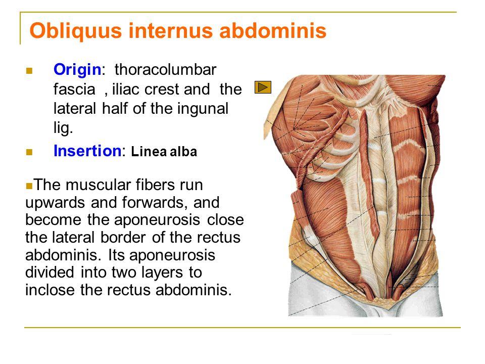 Obliquus internus abdominis