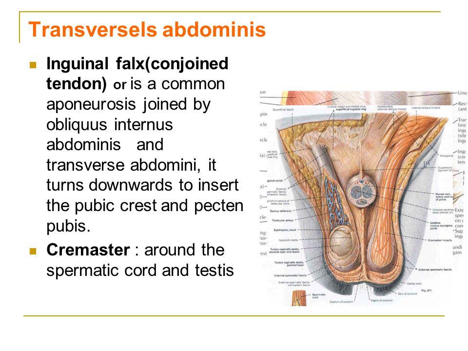 Transversels abdominis
