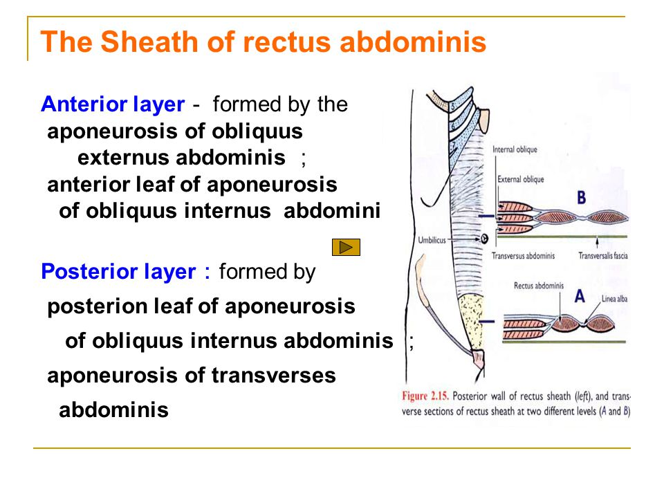 The Sheath of rectus abdominis