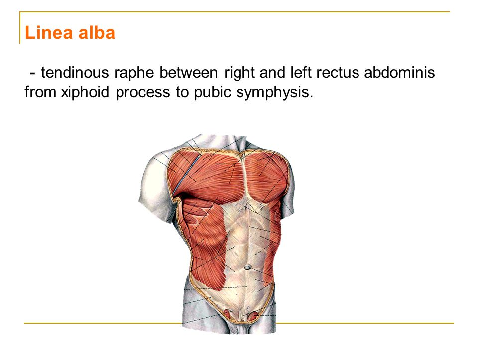 Linea alba -tendinous raphe between right and left rectus abdominis from xiphoid process to pubic symphysis.