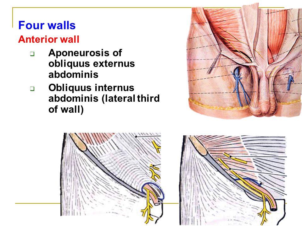 Obliquus Externus Abdominis image information