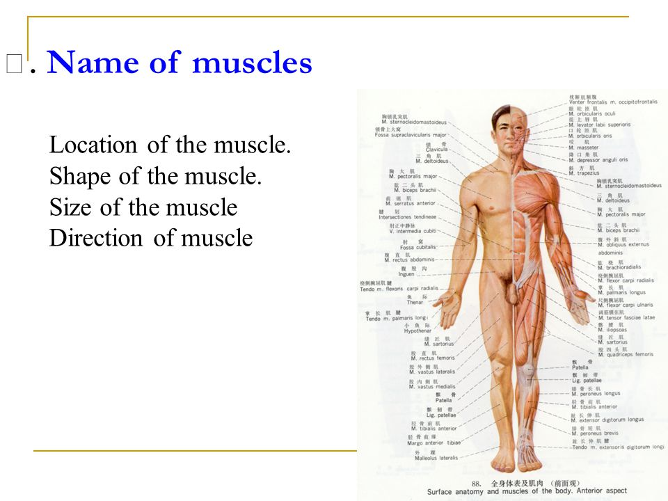 Ⅲ. Name of muscles Location of the muscle. Shape of the muscle.