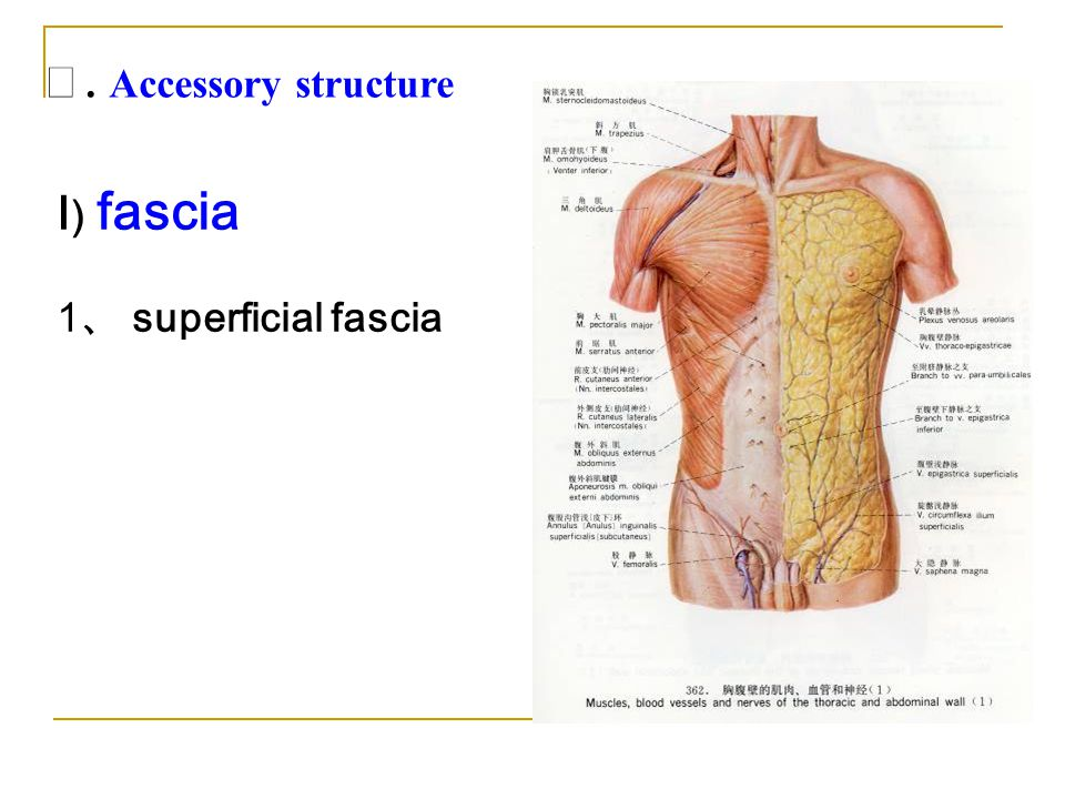 Ⅳ. Accessory structure Ⅰ) fascia 1、 superficial fascia