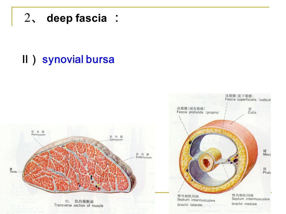 2、 deep fascia : Ⅱ) synovial bursa