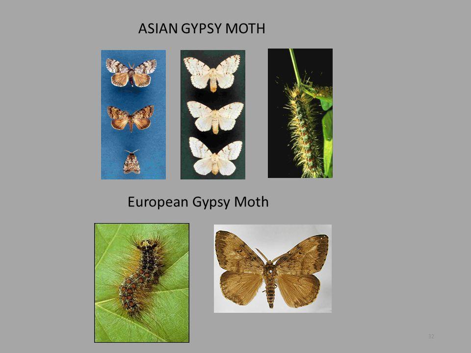 ASIAN GYPSY MOTH European Gypsy Moth