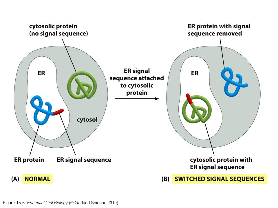 Figure 15-6 Essential Cell Biology (© Garland Science 2010)