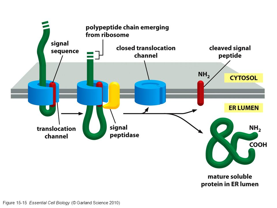 Figure 15-15 Essential Cell Biology (© Garland Science 2010)