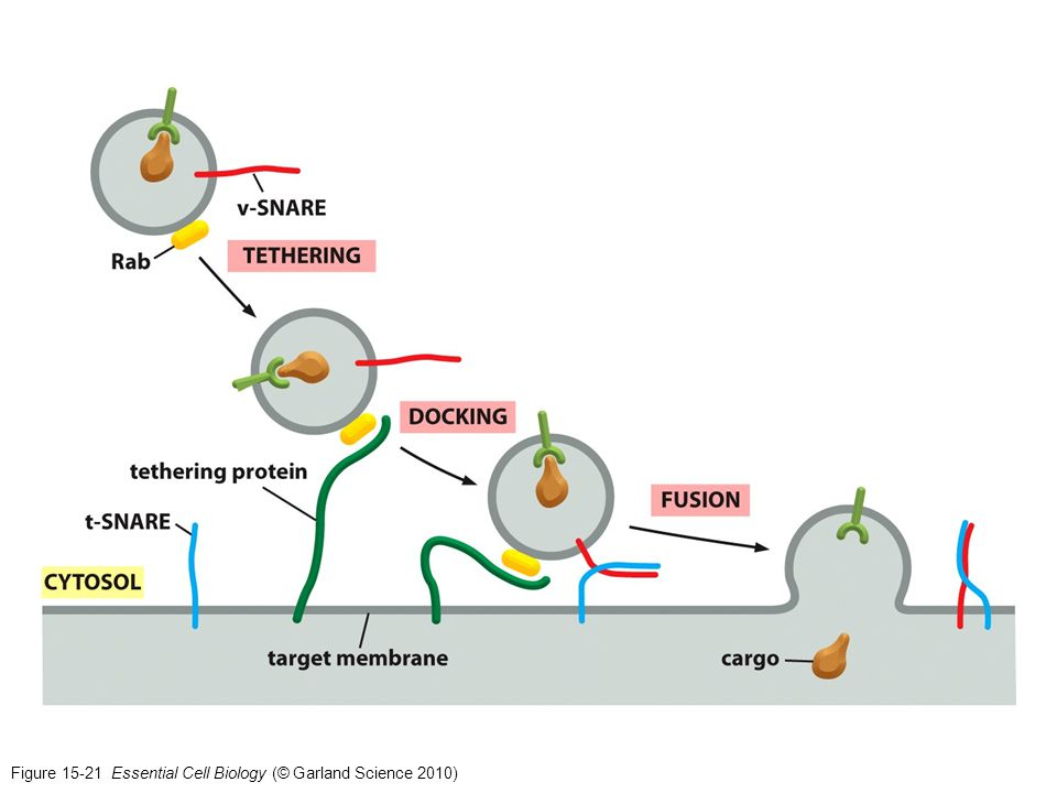 Figure 15-21 Essential Cell Biology (© Garland Science 2010)