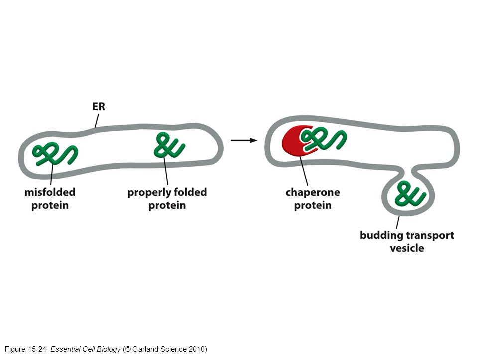 Figure 15-24 Essential Cell Biology (© Garland Science 2010)