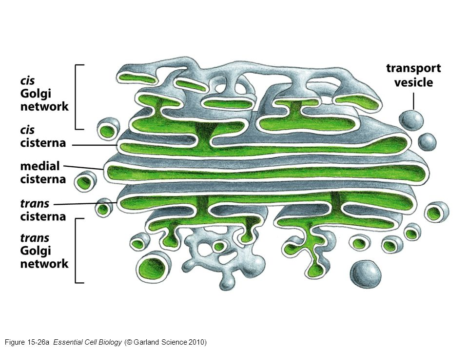 Figure 15-26a Essential Cell Biology (© Garland Science 2010)