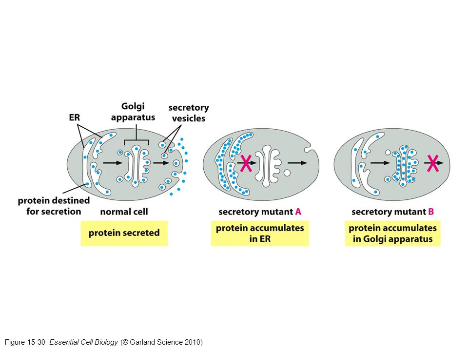 Figure 15-30 Essential Cell Biology (© Garland Science 2010)