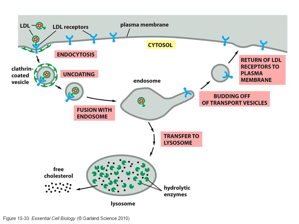 Figure 15-33 Essential Cell Biology (© Garland Science 2010)