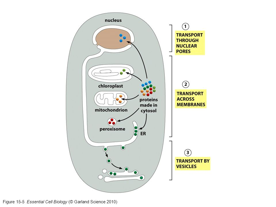 Figure 15-5 Essential Cell Biology (© Garland Science 2010)