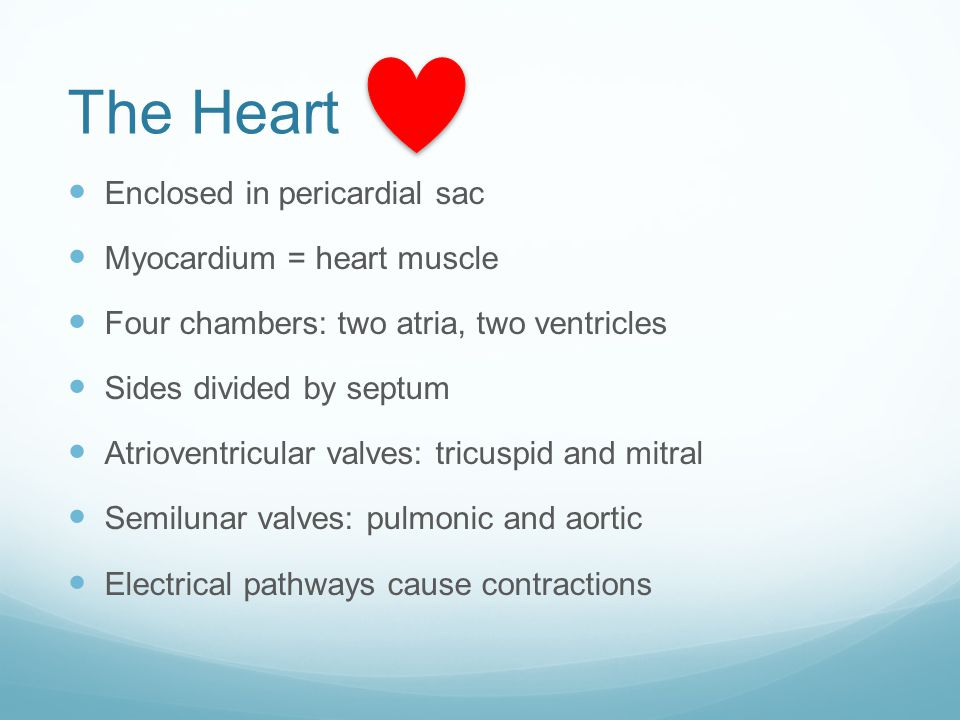 The Heart Enclosed in pericardial sac Myocardium = heart muscle