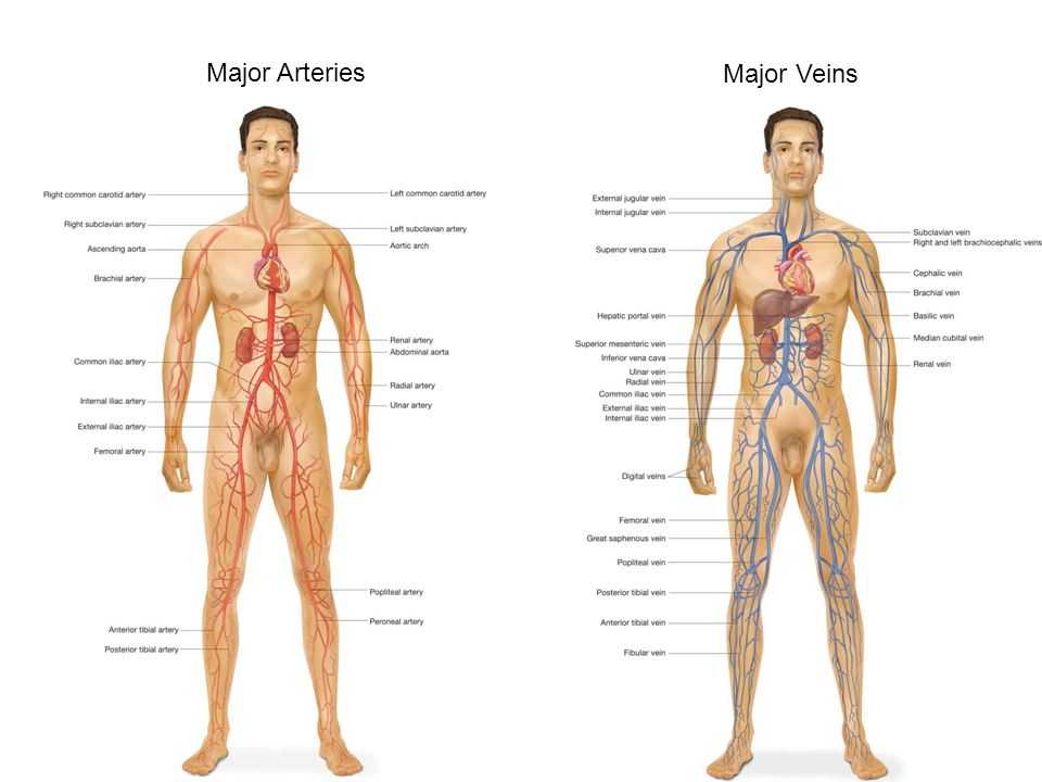 Major Arteries Major Veins