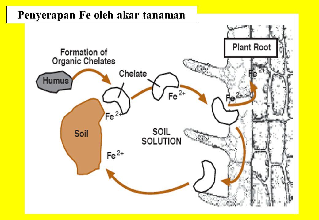 Penyerapan Fe oleh akar tanaman