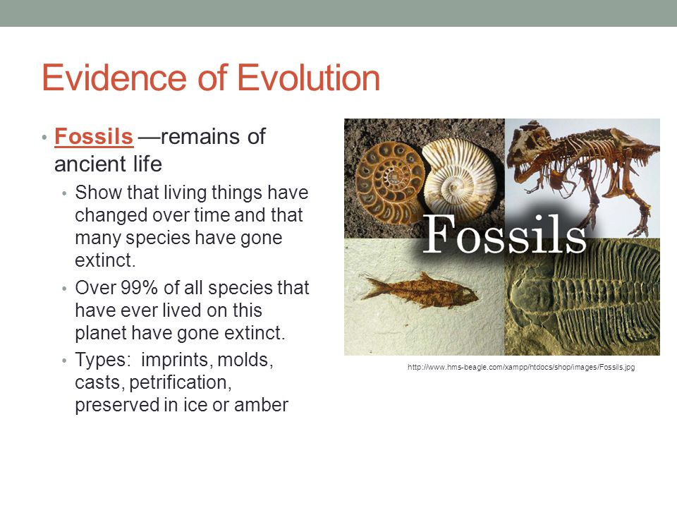 Evidence of Evolution Fossils —remains of ancient life