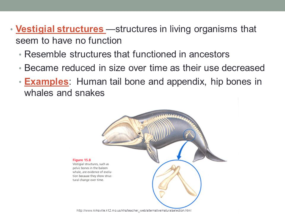 Resemble structures that functioned in ancestors