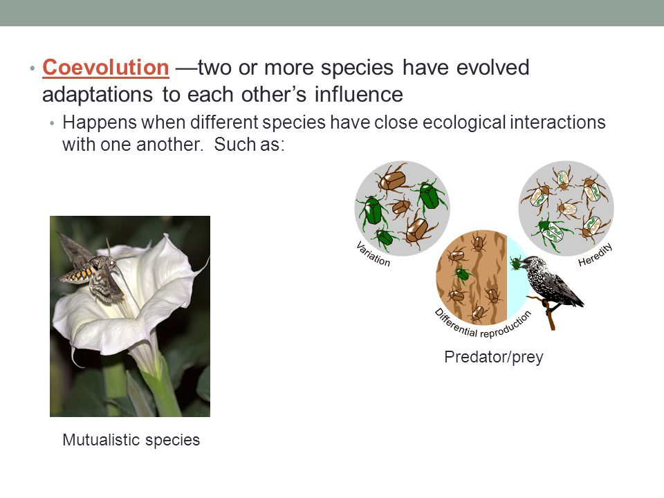 Coevolution —two or more species have evolved adaptations to each other's influence