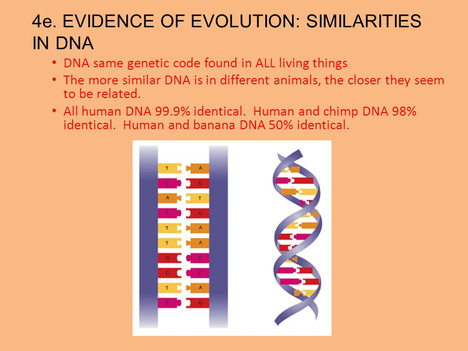 4e. EVIDENCE OF EVOLUTION: SIMILARITIES IN DNA