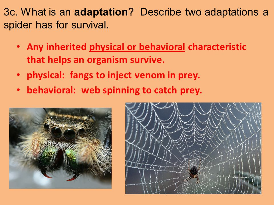 3c. What is an adaptation Describe two adaptations a spider has for survival.