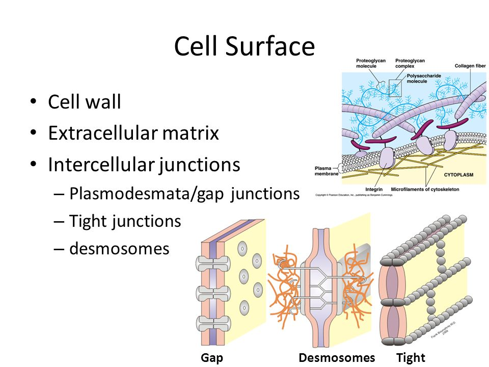 Cell Surface Cell wall Extracellular matrix Intercellular junctions