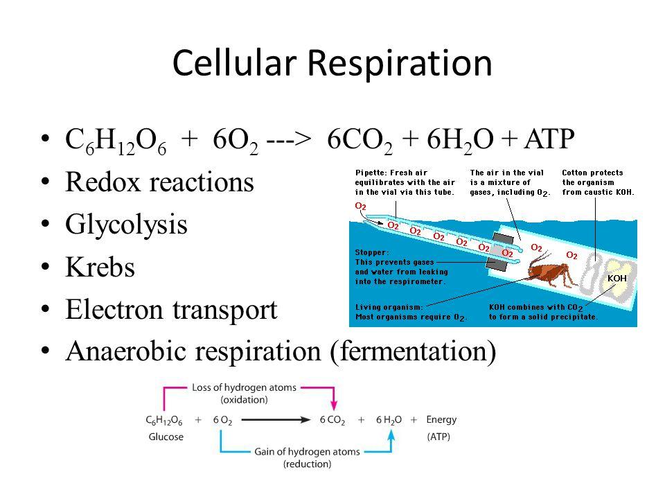 Cellular Respiration C6H12O6 + 6O2 ---> 6CO2 + 6H2O + ATP