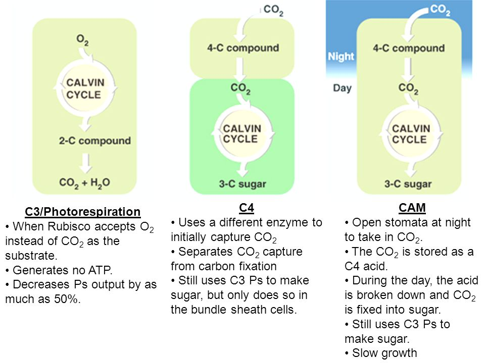 C4 Uses a different enzyme to initially capture CO2. Separates CO2 capture from carbon fixation.
