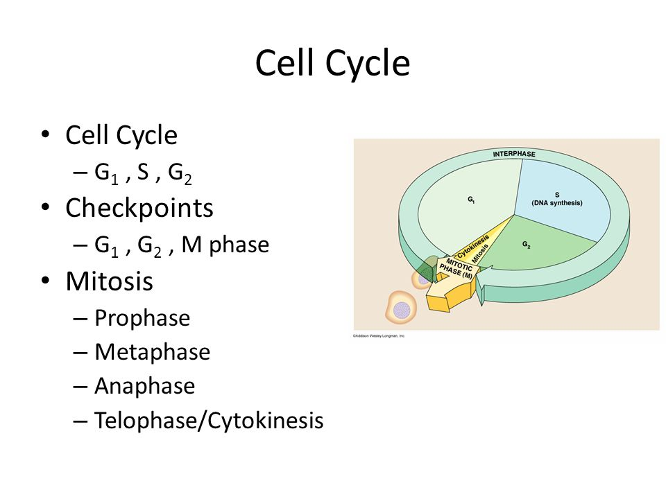 Cell Cycle Cell Cycle Checkpoints Mitosis G1 , S , G2